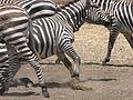 PikiWiki Israel 37266 Zebra craze.JPG