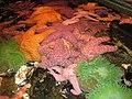 Pile of seastars.JPG
