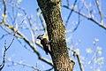 Pileated woodpecker (40886218185).jpg