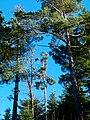 Pines - panoramio (3).jpg