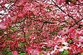 Pink-Dogwood-Flowers - West Virginia - ForestWander.jpg