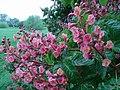 Pink Horse Chestnut flowers - geograph.org.uk - 423024.jpg