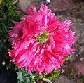 Pink poppy (8794562512).jpg