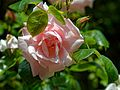 Pink rose bloom of a climbing rose at Boreham, Essex, England 2.jpg