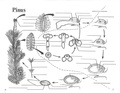 Pinus Life Cycle.pdf