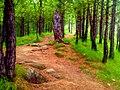 Pinus Roxburghii.jpg