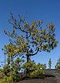 Pinus canariensis - Llano del Jable - La Palma 04.jpg