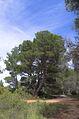 Pinus halepensis, Pinet, Hérault 01.jpg