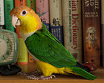 A parrot with green wings, yellow legs and cheeks, a white underside, and an orange forehead and nape