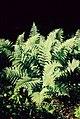Pirineos, flora 1981 27.jpg