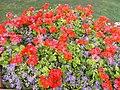 Piros virágok, Hősök tere, 2017 Nyíregyháza.jpg