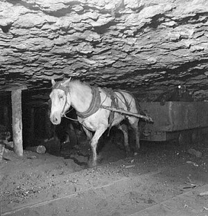 Pit pony - Pit pony and miner in a mine in New Aberdeen, Nova Scotia, August 1946. The last working pit pony was brought out of the Drummond Coal Company colliery at Westville in 1978.