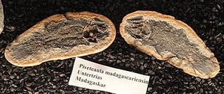 <i>Piveteauia</i> genus of fishes