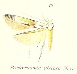 <i>Pachyrhabda</i> Genus of moths
