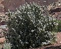 Plant off of Capitol Reef Scenic Drive3.jpeg