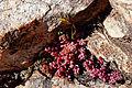Planta en Fuencaliente (5593178680).jpg