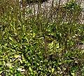Plantago australis 1.jpg