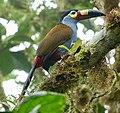 Plate-billed Mountain-toucan (47844232321).jpg