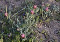 Platycapnos-spicata-Lunel-JohnWalsh.jpg