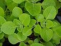 Plectranthus amboinicus 2.jpg