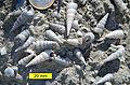 Pleistocene Turritella Sicily.jpg
