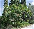 Plumeria-Bahai-Gardens-Akko-IZE-0041.jpg