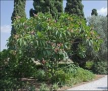 plumeria acuminata medicinal use