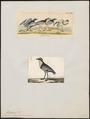 Pluvianus aegyptius - 1700-1880 - Print - Iconographia Zoologica - Special Collections University of Amsterdam - UBA01 IZ17200291.tif