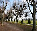 Pollarded trees, Oldway mansion, Paignton - geograph.org.uk - 694864.jpg