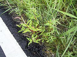 PolygonumPersicara-plant-sm.jpg