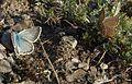 Polyommatus coridon (male and female) in Vallée d'Eyne, France.JPG