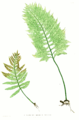 Polypodium vulgare Moore3.png