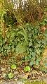 Polystichum setiferum 52952616.jpg