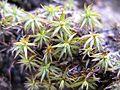 Polytrichum juniperinum in Hokkaidō, Japan 01.jpg