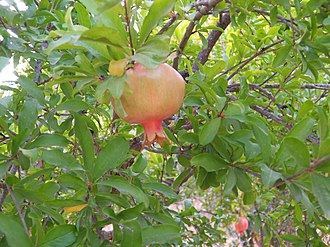 Bikkurim (First-fruits) - Pomegranate, firstfruit of the season.