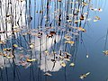 Pond Cameron NC 3852 (15755244742).jpg