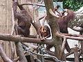 Pongo pygmaeus in Zoo Krefeld (1).JPG