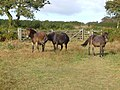Ponies at Andrew's Wood - geograph.org.uk - 243046.jpg