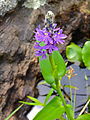 Pontederia cordata - Pickerelweed 2.jpg