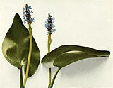 Pontederia cordata WFNY-008.jpg