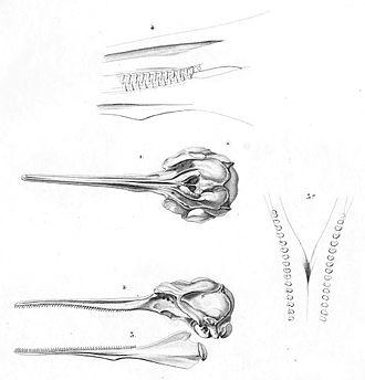 La Plata dolphin - La Plata skull