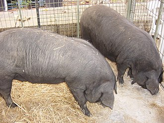 Mallorca - Archeological evidence indicates the presence of the porc negre (black pig) in pre-Roman settlements.