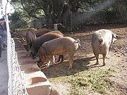 Pigs in an extensive farm