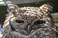 Portrait of an owl (6785773058).jpg