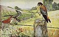 Portraits and Habits of Our Birds-1 0073.jpg