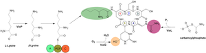 Viomycin - Figure 2. Post-modification of Viomycin.