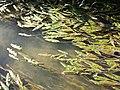 Potamogeton nodosus sl22.jpg