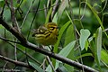 Prairie Warbler (male) Fall Out Sabine Woods TX 2018-04-08 08-58-53 (41484993611).jpg