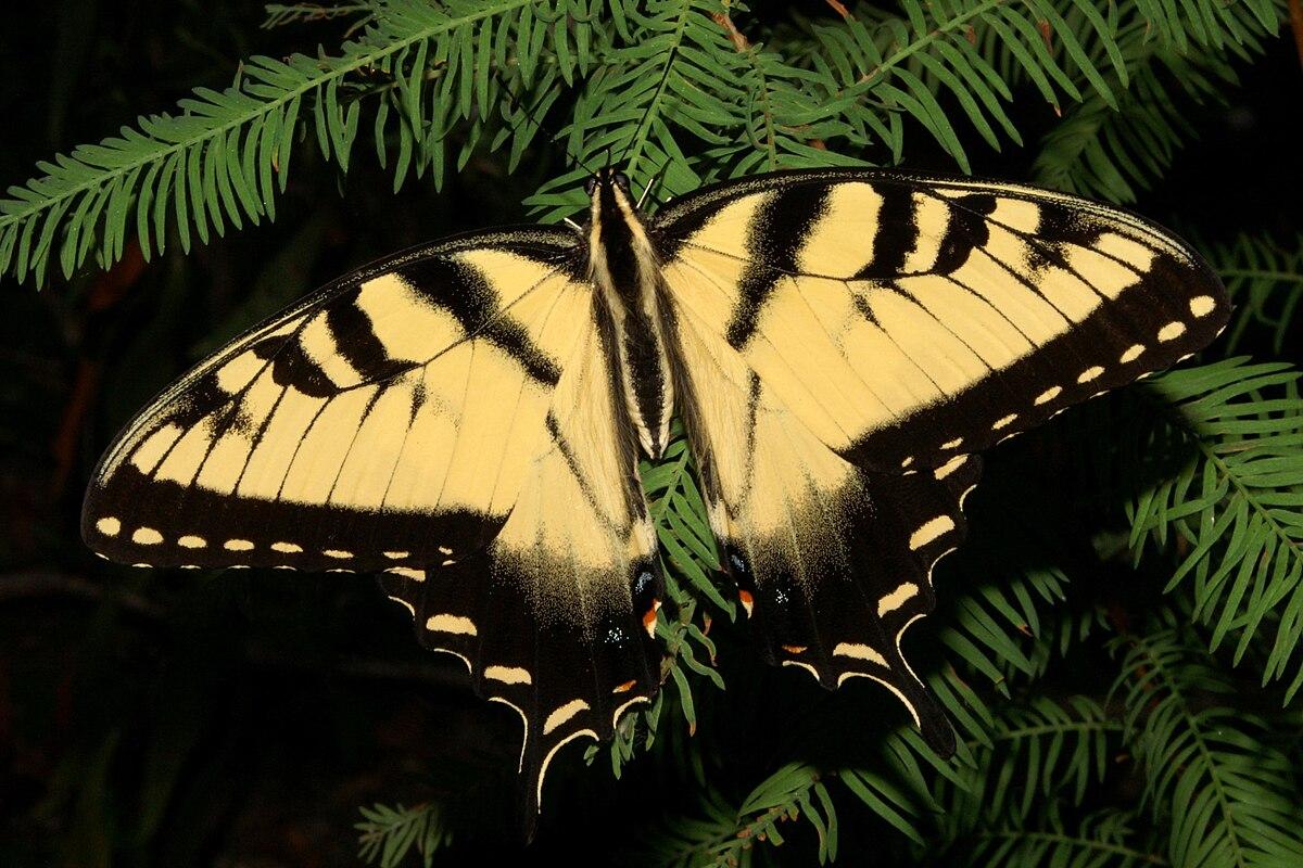 Papilio glaucus wikipedia buycottarizona