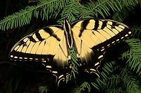 Eastern Tiger Swallowtail, state butterfly